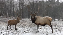 Red deer in a snow storm - stock footage