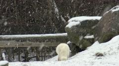 Arctic Fox in Winter Arkistovideo