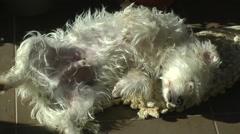 Westie dog sleeps under the sun. - stock footage