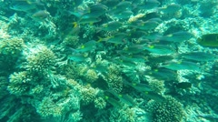 Coral reef with shoal of tropical fishes. Stock Footage