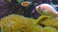 Tropical reef fish The Clownfish or Anemonefish. Stock Footage