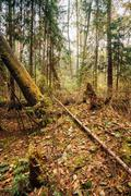 Fallen trees in autumn wild coniferous forest reserve - stock photo