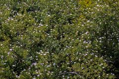 Leafy Wild Rose - stock photo