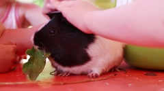 Children hand stroking hamster when it eats plantain - stock footage