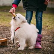 White Samoyed Puppy Dog Outdoor in Park Stock Photos