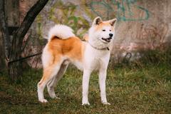Akita Dog or Akita Inu, Japanese Akita Outdoor Stock Photos
