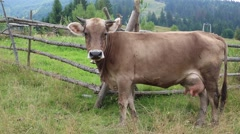 Milking cow on meadow Stock Footage