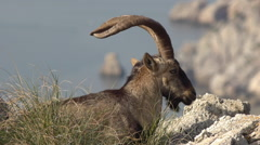 Close-up of male Iberian ibex Stock Footage