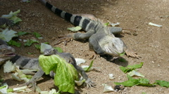 Lizards on Aruba eating green leaves Stock Footage