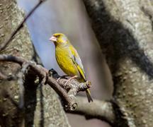 European greenfinch (Chloris chloris) Stock Photos
