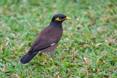 Locust starling or common myna (Acridotheres tristis) - stock photo