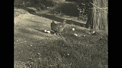Vintage 16mm film, 1935, hen and chicks Stock Footage