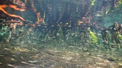 Fish shoal underwater swimming in the mangrove Stock Footage