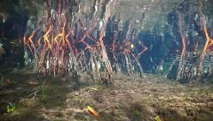 Roots of red mangrove tree underwater Stock Footage