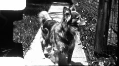 Dog and Cat Fight! Pets in Conflict Combat 1950s Vintage Film Home Movie 8883 Stock Footage