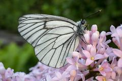 Aporia Crataegi butterfly on a flower lilac - stock photo