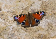 Butterfly European Peacock (Aglais io) - stock photo