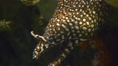 Speckled Ocean Eel - stock footage