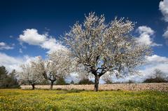 Stock Illustration of blossoming almond tree