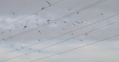 Flock of pigeons flying in California skies in slow motion 4K Stock Footage