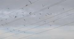 Flock of pigeons flying in California skies in slow motion 4K Stock Footage