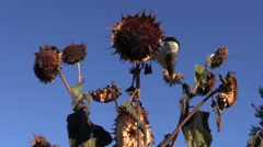 Marsh tit eating seeds while perched on sunflower Stock Footage