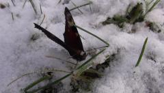 Peacock butterfly on the snow Stock Footage