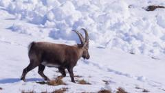 Stock Video Footage of Ibex next to an avalanche flow