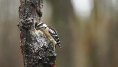 Downy Woodpecker Fight Stock Footage