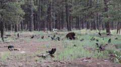 bear eating with ravens - stock footage