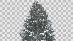 Blue Spruce Snow on a Branches Tree With Cones Winter Tree is Swaying at The Stock Footage
