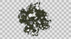 Fir Top Down Douglas Fir Snow on Tree Branches Strong Tree in Winter is Swaying - stock footage