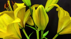 Time Lapse Of Blooming Lily Flower Stock Footage