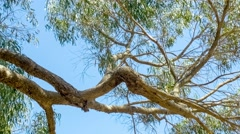 Stock Video Footage of Beautiful eucalyptus tree branches against blue sky with gently swaying leaves,
