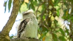 Laughing kookaburra using its large bill to groom feathers Stock Footage
