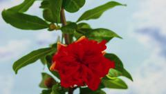Timelapse of a pomegranate tree flower Stock Footage