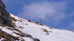 Alpine ibex is following a female at breeding season - stock footage