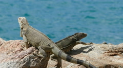 Stock Video Footage of Two lizards reacting on each other at the rocks on Aruba