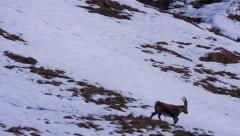 Alpine ibex (male) walking in crossing the screen Stock Footage