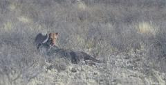 Feeding lioness dragging a dead wildebeest Stock Footage