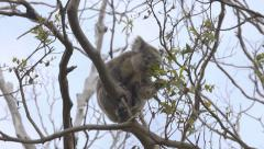 Koala climbing and eating leaves on a eucalyptus tree Stock Footage