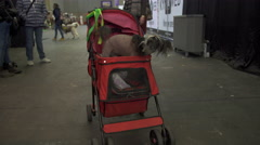 Chinese crested dog in baby carriage - stock footage