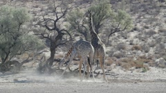 Two Kalahari giraffes fighting in a river bed Stock Footage