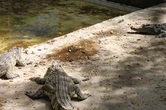 Alligator in pond at thailand - stock photo