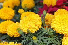 Marigolds in the garden - stock photo