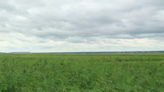 Movement of clouds over the hemp field Stock Footage