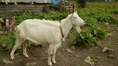 Goat in nature after rain Stock Footage