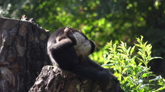 White-throated capuchin monkey on sunny tree trunk Stock Footage