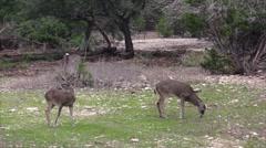 Three White Tail bucks - deer Stock Footage