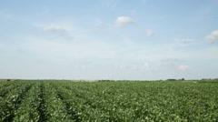 Green soybean field Stock Footage